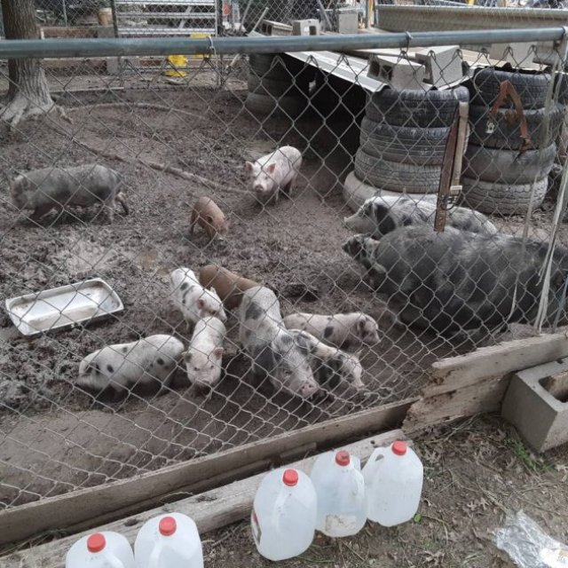 Pigs and piglets for sale whatsapp +27734531381