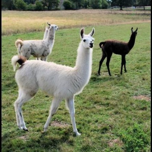 Llamas For Sale whatsapp +27734531381